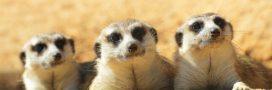 Si les humains vivaient comme des suricates…