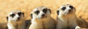 Si les humains vivaient comme des suricates...