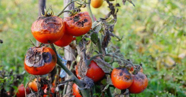 Maladies des tomates: comment les reconnaître et moyens de lutte