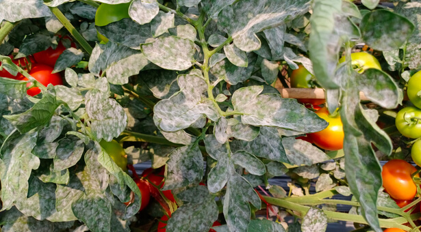 maladies des tomates; oïdium tomates