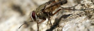 La mouche charbonneuse, un véritable enfer dans la maison