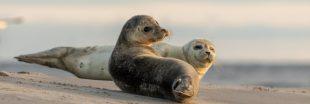 Dans la famille biodiversité ordinaire, protégeons le phoque commun