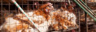 Élevage intensif de poulets : L214 s'attaque à Lidl