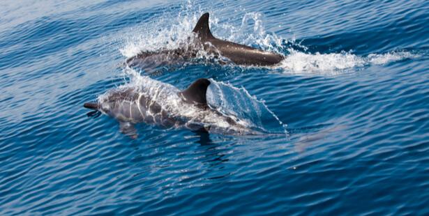 dauphins normandie