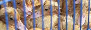 Horreur dans un élevage de canards au Pays Basque : L214 réclame sa fermeture