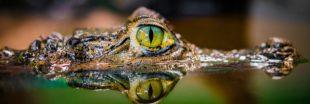 Des larmes de caïman pour soigner la sécheresse oculaire ?