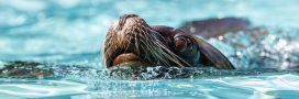 Carton rouge – des otaries tractent les visiteurs dans un zoo belge