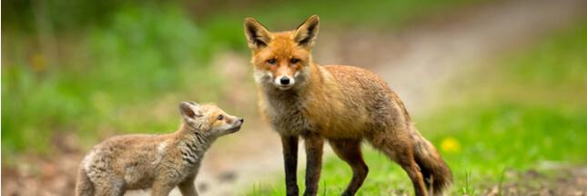 Vers un massacre de renards en Seine-Maritime?