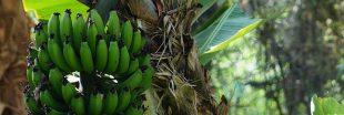 On utilisera bientôt des bananes pour fabriquer des voitures