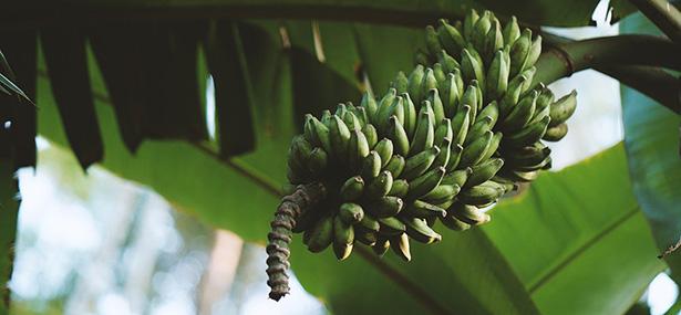 voiture fibre banane plantain