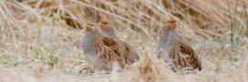 Dans la famille biodiversité ordinaire, protégeons la perdrix grise