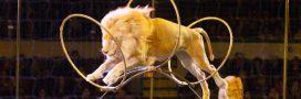 Cirque: vers la fin de l'exploitation des animaux sauvages?