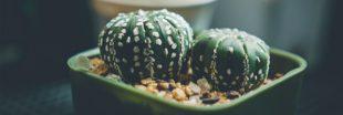 Astrophytum - Des cactus boules aux formes spectaculaires !