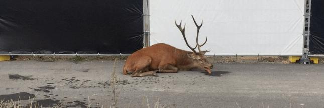 Chasse à courre: un cerf épuisé se réfugie en plein Compiègne