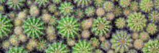 Entretien, culture : Comment bichonner les cactus touffes 'Echinopsis'