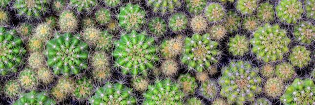 Entretien, culture: Comment bichonner les cactus touffes 'Echinopsis'