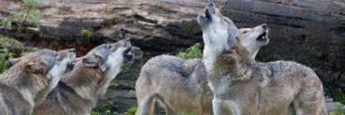Tirs de défense contre le loup - Une pétition fait le buzz en Haute-Saône