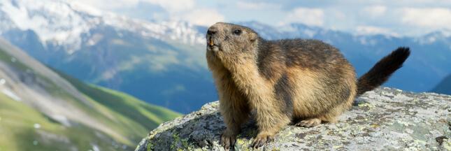 Dans la famille biodiversité ordinaire, protégeons la marmotte