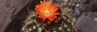 Parodia : de magnifiques cactus cylindriques pour débuter un jardin miniature