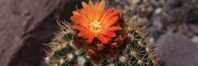 Parodia: de magnifiques cactus cylindriques pour débuter un jardin miniature