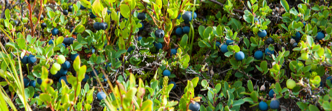 5plantes toxiques qui ressemblent à des plantes comestibles