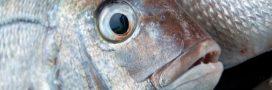 Sur les étals des poissonneries, 8 poissons sur 10 toujours pêchés au chalut