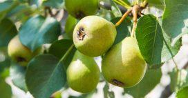 Jardinage: en septembre, récoltez les poires