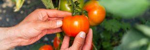Tomates, les astuces qui marchent pour prolonger la récolte