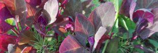 L'arroche, des épinards d'automne
