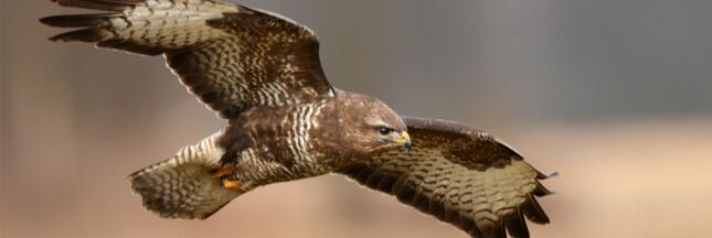 Dans la famille biodiversité ordinaire, protégeons la buse variable