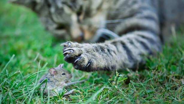 chat espèce nuisible