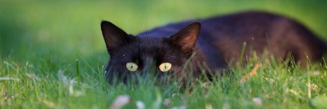 Non le chat ne sera pas classé espèce nuisible