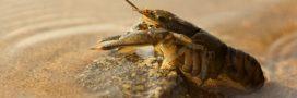 Dans la famille biodiversité ordinaire, protégeons l'écrevisse d'eau douce
