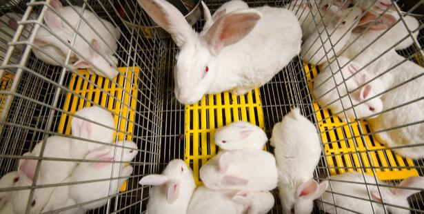 élevage de lapin en cage