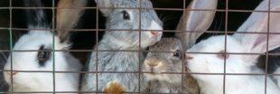 L214 : des images choc pour rappeler le sort des lapins élevés en cage