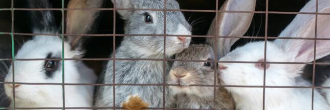 L214: des images choc pour rappeler le sort des lapins élevés en cage