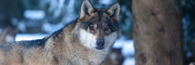 Des loups dans la nature après les crues des Alpes-Maritimes