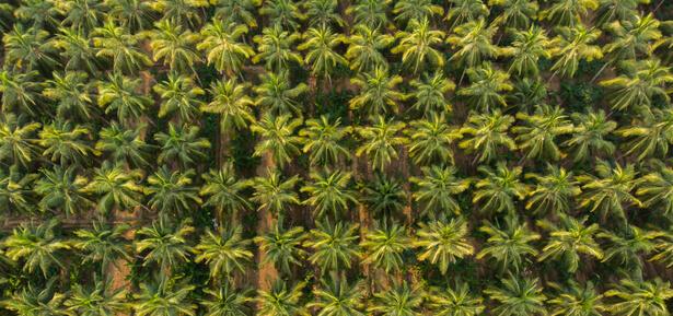 production noix de coco