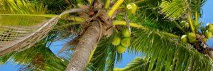 L'engouement pour la noix de coco, un danger pour l'environnement