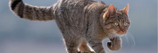 Une nouvelle espèce de félins sauvages dans l'Hérault