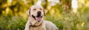 Des chiens capables de détecter le Covid-19