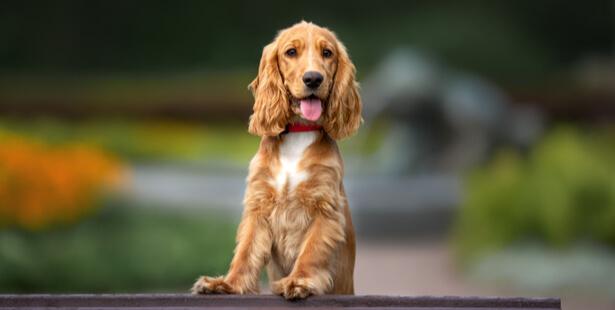 chien covid-19