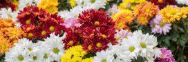 Chrysanthèmes: comment les bouturer et les conserver