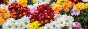 Chrysanthèmes : comment les bouturer et les conserver