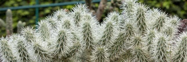 Entretien, culture: comment bichonner les cactus buissons les Cylindropuntia