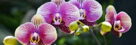 Faites refleurir vos orchidées pour les fêtes