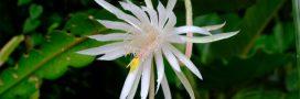 Entretien, culture : comment bichonner les cactus plats Epiphyllum