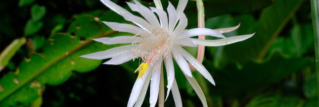 Entretien, culture: comment bichonner les cactus plats Epiphyllum