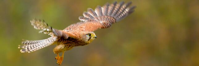 Dans la famille biodiversité ordinaire, protégeons le faucon crécerelle
