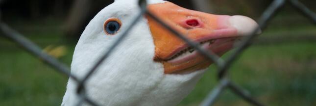 foie gras gavage L214